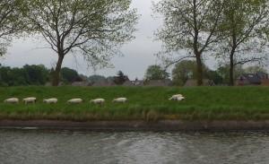 Sauer er alreite dyr, merk at gårdene ligger lavere i terrenget enn kanalen